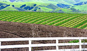 White Grape Posters - Vineyard Rows and Field and Rolling Hills Poster by Jeff Lowe