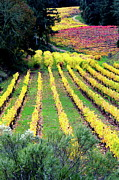 Vineyard In Napa Prints - Vineyard Sonoma 7 Print by Anthony George