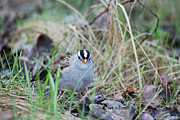Couronne Posters - Watchful White Crowned Sparrow Poster by Jan Piet