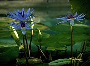 Flowers And Gardens - Water Lillies by Margaret Buchanan