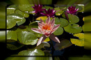 Water Lilly 6 Fine Art Print by Charles Warren