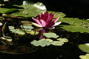 B Rossitto - Water Lily