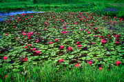 Waterlily Art - Water Lily Pond by Susan Isakson
