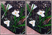 Crossview Framed Prints - White Crocus - Gently cross your eyes and focus on the middle image Framed Print by Brian Wallace