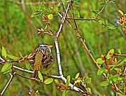 Audubon Digital Art Posters - White-crowned Sparrow in SKP Park Sierra  Poster by Ruth Hager