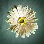 Tamyra Ayles Photo Posters - White Daisy Poster by Tamyra Ayles
