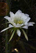 Saija  Lehtonen - White Night Blooming Cactus