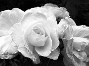 Jennie Marie Schell - White Roses Black and White