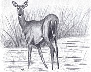 Doe Drawings Posters - White Tail Doe in a Marsh Poster by Tony  Nelson