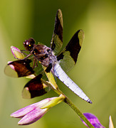 Barry Jones - White Tail Dragonfly