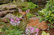 Adam Jones and Photo Researchers - White-tailed Deer Fawn