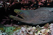 Sami Sarkis - Whitespotted Moray Eel