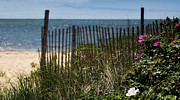 Thomas Schoeller - Wild Beach Rose - Cape Cod