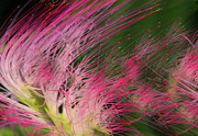 Mimosa Photograph Posters - Wind Blown.... Poster by Tanya Tanski