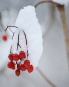 Michael Peychich - Winter Berries