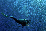Mature Adult Posters - Woman diver surrounded by a school of Jackfish Poster by Sami Sarkis
