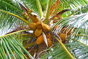 Photogaph Art - Yellow Coconuts by Carla Parris