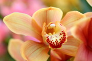 Yellow Orchid Fine Art Print by Norman Drake
