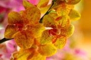 Yellow Orchids Fine Art Print by Norman Drake