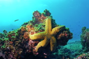 Sami Sarkis - Yellow sea star on a rock underwater...