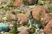Dennis Fast - Young Arctic Hare on...