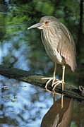 Suzanne Gaff - Young Black Crowned Night Heron