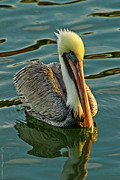 Young Pyrography Prints - Young Pelican  Print by Gib LaStrapes