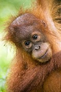 Tony Camacho and Photo Researchers - Young Sumatran Orangutan