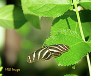 Bugs And Insects - Zebra Butterfly by Margaret Buchanan