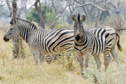 Africa Wall Art Prints - Zebras Print by Robert Shard