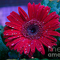 Donna Brown -  Red Gerbera Daisy