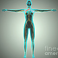 Anatomy Of Female Body With Arteries by Stocktrek Images