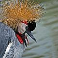 Crowned Crane by Skip Willits