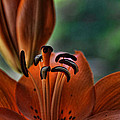 Saija  Lehtonen - Orange Lilly