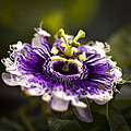 Bradley R Youngberg - Purple Passion Flower