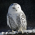 Inspired Nature Photography By Shelley Myke - Snowy Owl on a Twilight...