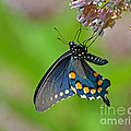 Rodney Campbell - Spicebush Swallowtail