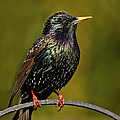 Paul Scoullar - Starling