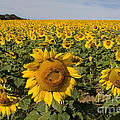 Chris Scroggins - Sunflower Field
