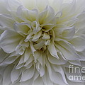 Photographic Art and Design by Dora Sofia Caputo - Lovely in White -  Dahlia