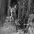 Don Hooper - Roe Deer
