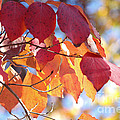 Luv Photography - Dogwood  Leaves