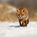 Roeselien Raimond - Red Fox in the Snow