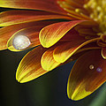 Zoe Ferrie - Waterdrop on a Gerbera...