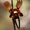 Michaela Perryman - Pansy Orchid