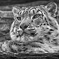 Chris Boulton - Snow Leopard