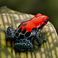 Dirk Ercken - Red poison dart frog