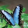 Robin Lee Mccarthy Photography - #686 24A butterfly blues...
