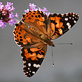 Karen Adams - American Painted Lady...