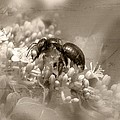 Tessa Fairey - A Bee At Work Sepia
